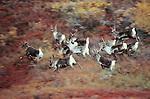 Running caribou bulls