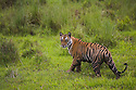 17 months old Bengal tiger cub walking in short green grass of wet meadow, early morning, dry season