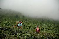 The Tea Story - Darjeeling