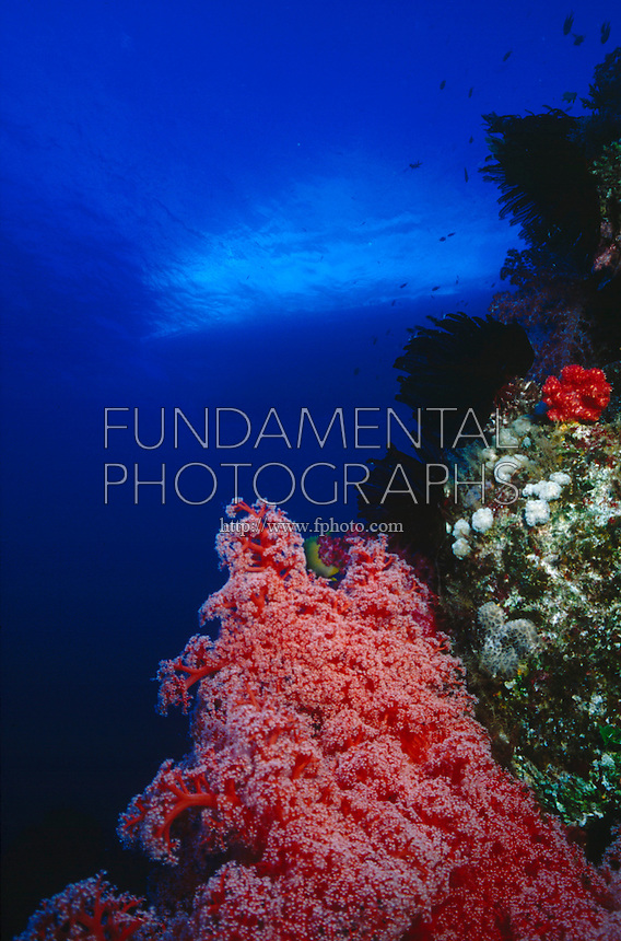 CORAL REEFS<br /> Soft Coral On Wall, Ship On Surface<br /> Soft corals are an order of corals which do not produce calcium carbonate skeletons and so are neither reef-building corals nor do they lay new foundations for future corals.