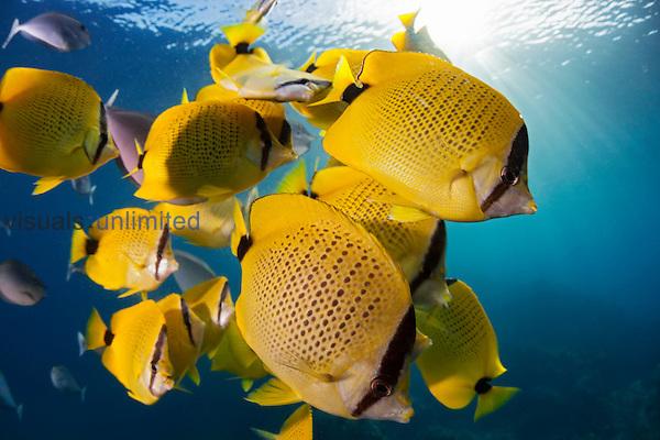 Milletseed Butterflyfish school (Chaetodon miliaris), Hawaii, USA.