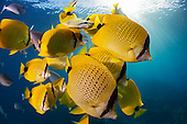 Milletseed Butterflyfish school (Chaetodon miliaris), Hawaii, USA.
