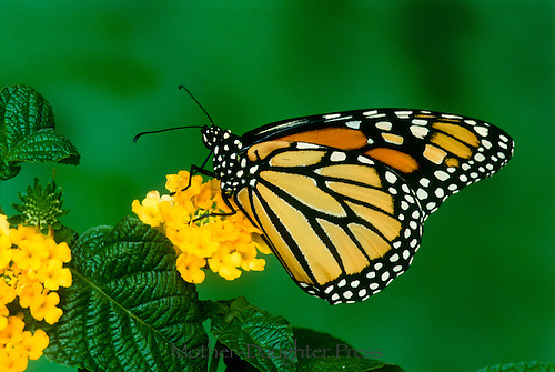 Monarch butterfly, Danaus plesxippus, on blooming yellow lantana flowers with textured leaves