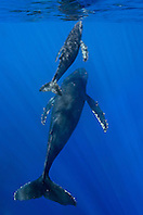 humpback whale, Megaptera novaeangliae, mother and calf, sufacing for air, Hawaii, Pacific Ocean