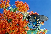 Pipevine swallowtail butterfly, Battus philenor philenor, on wild butterfly weed, July