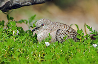 518130012 a wild inca dove columbina inca sits among green plants in the rio grande valley of south texas