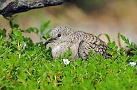 518130012 a wild inca dove columbina inca sits among green plants in the rio grande valley of south texas