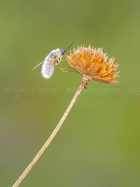 A Bee Fly (Anastoechus barbatus) perches on a mature seedhead of a coastal plain honeycombhead (Balduina angustifolia).