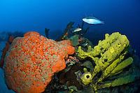 Sponge scenics at Cane Bay wall with Orange Elephant Ear Sponge and Convoluted Barrel Sponge.St. Croix, .US Virgin Islands