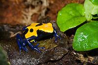 "The Yellow and Blue ""Citronella"" Poison Dart Frog (Dendrobates tinctorius ""Citronella""), is a color morph of the Dyeing Dart Frog (Dendrobates tinctorius), captive"