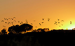 Back Bay terns flying overhead at sunset.