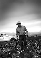 A farmer approaches to inspect his crop of romaine lettuce in the heart of the Salinas Valley, California