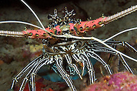 Painted spiny lobster, Panulirus versicolor, Indonesia.<br />