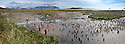 King Penguin (Aptenodytes patagonicus) breeding colony with tourists. Salisbury Plain, South Georgia, South Atlantic. (digitally stitched image)