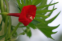 "Campsis radicans (trumpet vine or trumpet creeper, also known in North America as ""cow itch vine"" or ""hummingbird vine""), is a species of flowering plant of the family Bignoniaceae, native to the southeastern United States."