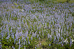 . Lupines growing in Waushara County, Wisconsin. .
