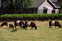 Belted Galloway Cows grazing in a Pasture, Fraser Valley, British Columbia, Canada - Rare Scottish Beef Cattle Breed on a Small Farm