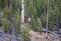 Bull elk during the autumn rut in heavy timber
