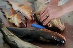 Foto: VidiPhoto..KVALHEIM - Nederlandse sportvissers actief in de fjorden bij Kvalheim, ten noorden van Bergen in Noorwegen. Het Scandinavische land trekt ieder jaar meer sportvissers uit Nederland en andere Europese landen vanwege de grote en diverse soorten vissen die er te vangen zijn. Om overbevissing te voorkomen heeft de Noorse overheid drastische maatregelen ingesteld. Sportvissers mogen nog maar 15 kilo visfilet per persoon mee naar huis nemen en er wordt streng gecontroleerd op het handhaven van de minimum maten. Met name sportvissers uit de Oost-Europese landen hebben jarenlang de Noorse viswateren uitgeput door massaal zoveel mogelijk grote en kleine vissen weg te vangen en de filet vervolgens in eigen land te verkopen. Foto: Het schoonmaken van de vis.