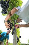 Foto: VidiPhoto<br /> <br /> DODEWAARD - Het ziet er niet best uit voor de Nederlandse wijnoogst. Wijngaarden hebben te kampen met meeldauw en de Suzuki fruitvlieg die voor veel rotte druiven zorgt. Daarom plukt wijngaardenier Teun Geluk (r) van de S-akker uit Dodewaard woensdag de meest slechte druiventrossen van zijn 1300 wijnstokken, voordat maandag de echte oogst begint. De druiven in de voorpluk worden gebruikt voor zoete wijn. Doordat fruitvliegjes voor verzuring zorgen, worden trossen met rotte druiven uit voorzorg weggeknipt. De wijnen van Geluk vallen ieder jaar in de prijzen. Wijnboer Freek Verhoeven van Wijnhoeve de Colonjes uit Groesbeek, de grootste wijngaard van Nederland, noemt de oogst dit jaar &quot;een ramp. De meeldauw heeft zelfs resistente druiven aangetast. Dit heb ik nog niet eerder meegemaakt.&quot; Oorzaak is volgens hem de lange en natte periode van twee weken terug.