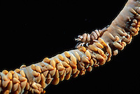 Black Coral Shrimp (Pontonides unciger), Sulawesi, Indonesia.