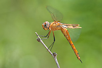 388550009 a wild  red saddlebags dragonfly tramea onusta perches on a twig at hornsby bend travis county texas