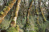 Beech trees on Routeburn Track, Fiordland National Park, Southland, New Zealand