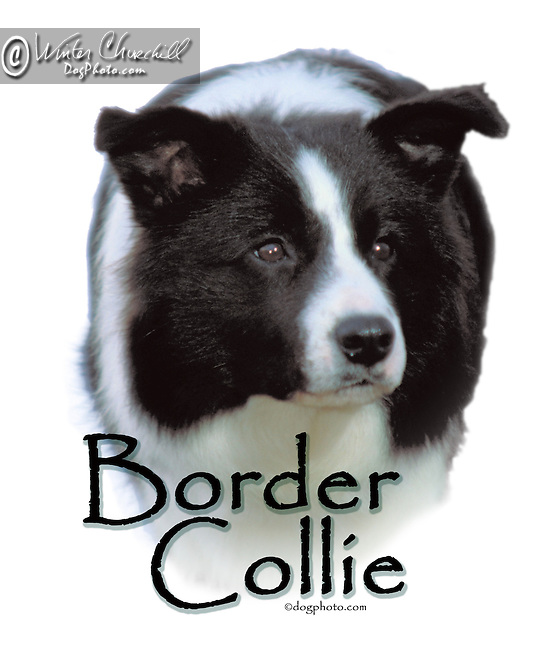 Border Collie This design is offered on gift merchandise ONLY.<br />