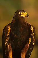 521090057 portrait of a captive golden eagle aquila chrysaetos in sunset light colorado