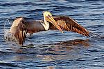 Pelican 3, taking off at Bolsa Chica, CA.