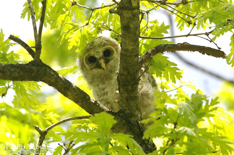 Newly fledged barred owl (Strix varia), Washington Grove, Maryland