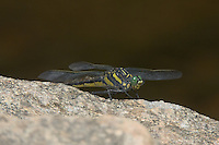 Dragonhunter (Hagenius brevistylus) Dragonfly, Ward Pound Ridge Reservation, Cross River, Westchester County, New York