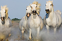 White Camargue horses running in swamp, Camargue, France