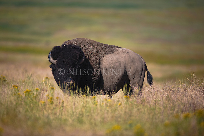 Bison Bull in Montana
