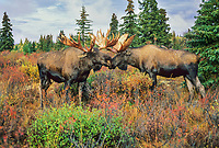 Two adult bull moose spar on the autumn tundra during the mating season, Denali National Park, Alaska.