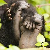 Mountain Gorilla (Gorilla beringei beringei) adult foot and young hand, Volcanoes National Park, Rwanda