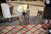 Adjustments. Kennel Club Dog Show, Championship Purebred AKC, Graham Building, N.C. State Fairgrounds. Sunday, March 25, 2012.