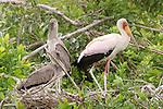 Yellow-billed stork (Mycteria ibis) Moremi Reserve, Okavango Delta, Botswana