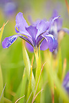 Tule Elk Reserve, Point Reyes National Seashore, California; a field of Douglas Iris (Iris douglasiana) wildflowers