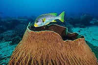 Sweetlips sheltering in a barrel sponge, Sangalaki, Kalimantan, Indonesia.