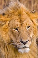 A lion, Masai Mara National Reserve, Kenya