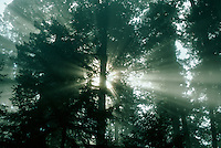 Sun rays through forest trees.