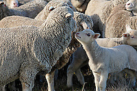 Marino lamb with flock.<br />