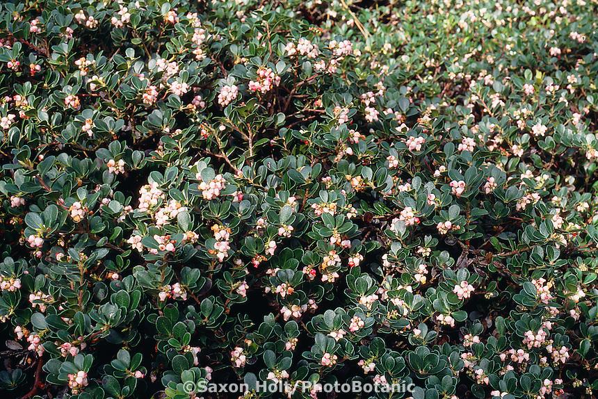 Arctostaphylos uva-ursi 'Point Reyes' (Bearberry Manzanita)