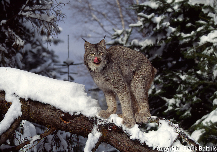 lynx on tree in Montana