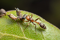 A Graceful Twig Ant (Pseudomyrmex gracilis) holds on to its caught larval prey.