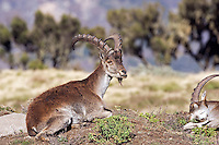 Walia Ibex resting (Capra walie), Simien Mountains National Park, Ethiopia.