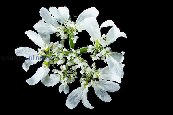 White Lace Flower (Orlaya grandiflora)
