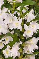 Dendrobium nobile hybrid in white showing flowers arranged along cane growth, Dendrobium Spring Dream, Yamamoto hybrid, white orchids