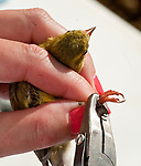 SOUTHBURY,  CT-051817JS18- Volunteer Kate Pratt of Newtown, affixes a band on the leg of a common goldfinch during a bird banding study Thursday at the Audubon Center Bent of the River in Southbury. <br /> Jim Shannon Republican-American
